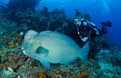 Bali Reef Diver Parrotfish