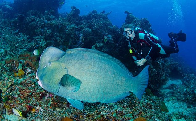 Bumphead Parrotfish Bali Safari Dive Trips
