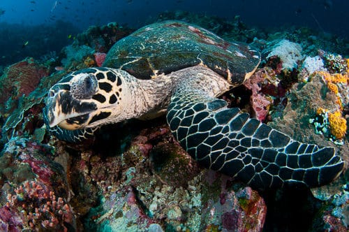Hawksbill Turtle Komodo