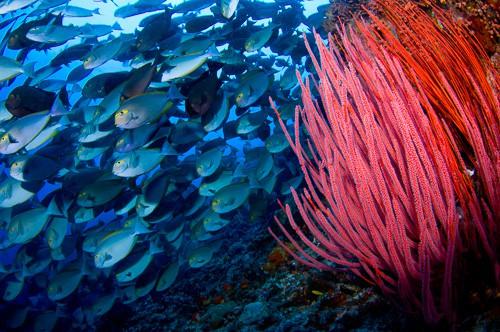 Schooling fish Komodo