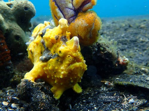FIX Neo yellow warty frogfish photo
