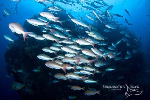 Schooling fish Raja Ampat