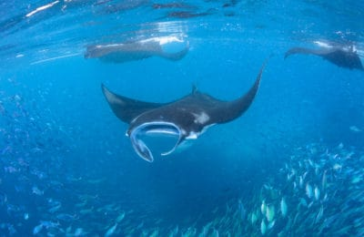 The manta rays of Raja Ampat Indonesia