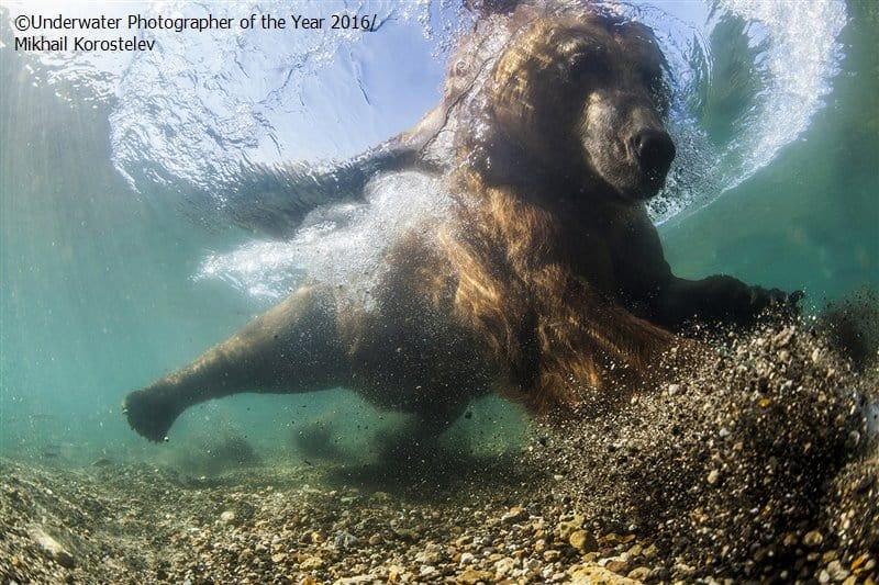 Bear Underwater Photographer of the Year