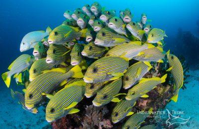 Schooling Fish Sweetlips