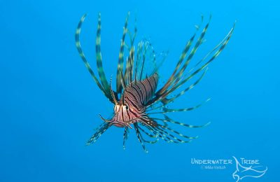 Blue Background Lionfish