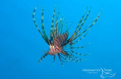 Blue Background Lionfish