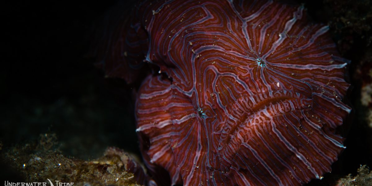 underwater tribe psychedelic frogfish ambon