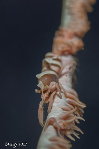 Sammy Sloss Shrimp