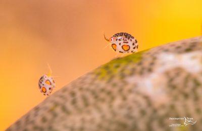 ladybugs amphipods komodo liveaboard