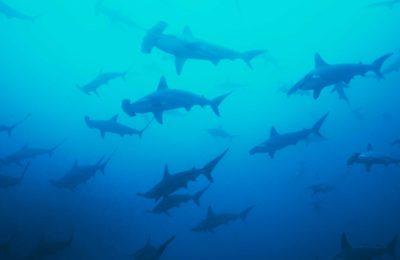 Banda Sea Hammerheads