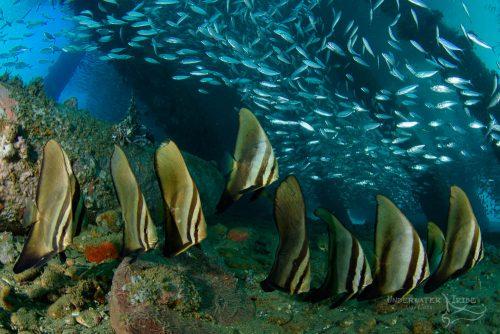 Batfish Ambon