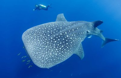 Whalesharks Bali Scuba Diving Center Underwater Tribe