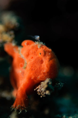 Bali Night Dive Frogfish