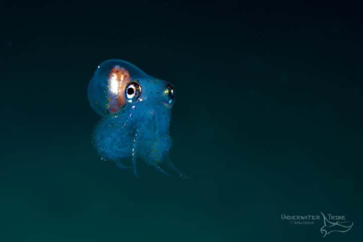 Octopus Blackwater