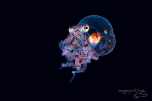 Black Water Mimic Octopus