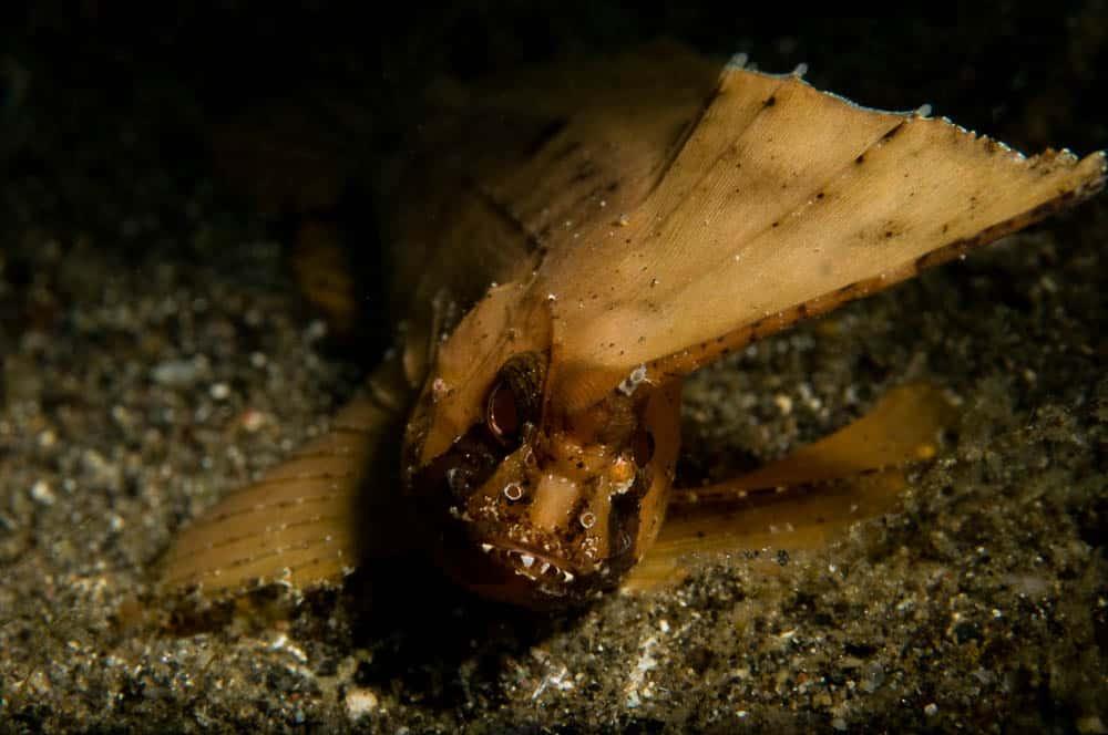 Bali Night Dive Wasp Fish