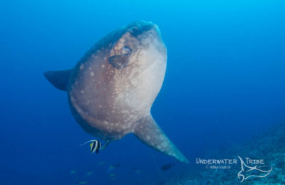 Bali Diving Sunfish Mola