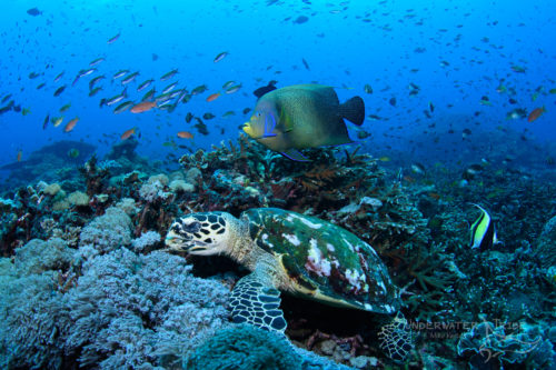 Turtle Nusa Penida Diving