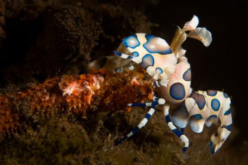 Harlequin Shrimp Bali Macro