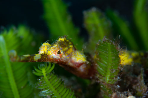 Bali Photos Winged Pipefish