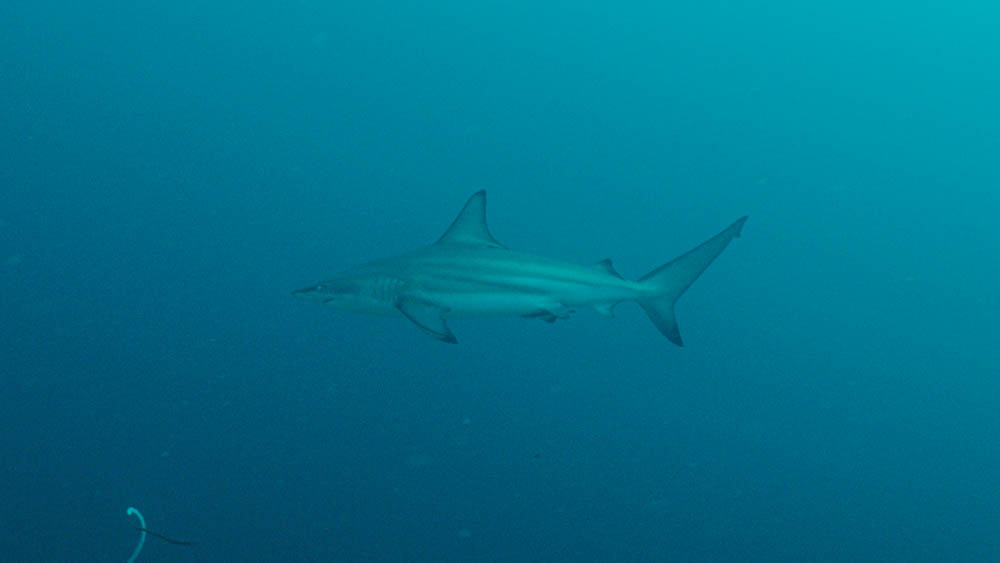 Black Tip Shark Alor
