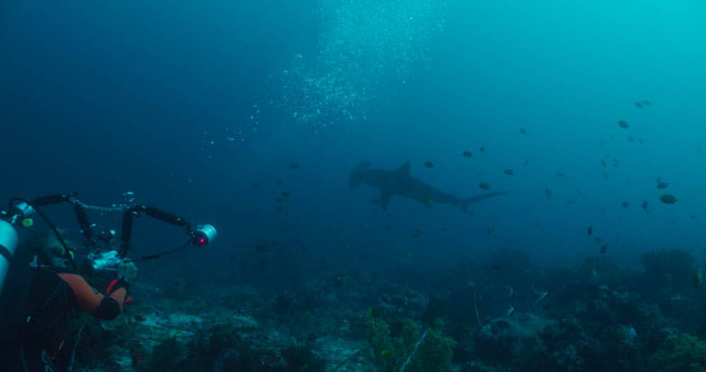 Alor Liveaboard Trip hammerhead Shark and Diver
