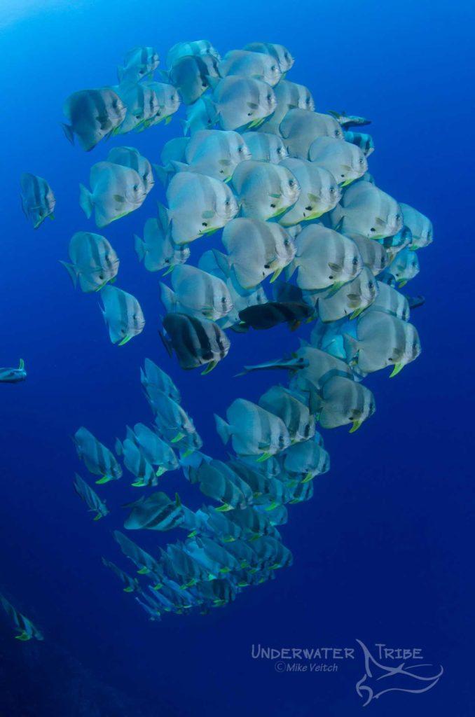 Raja Ampat Liveaboard Trip March 2021 Batfish