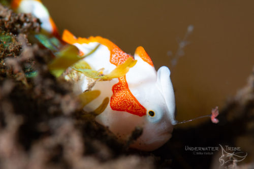 Fogfish DOF
