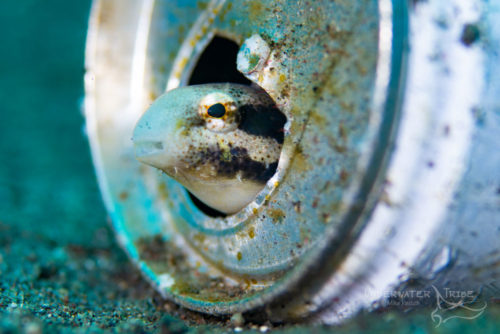 Fang Blenny in a Can