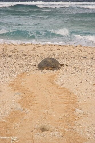 Green Turtle Going to Sea