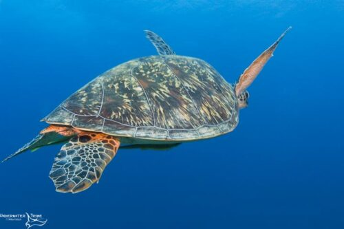 Green Turtles Shell