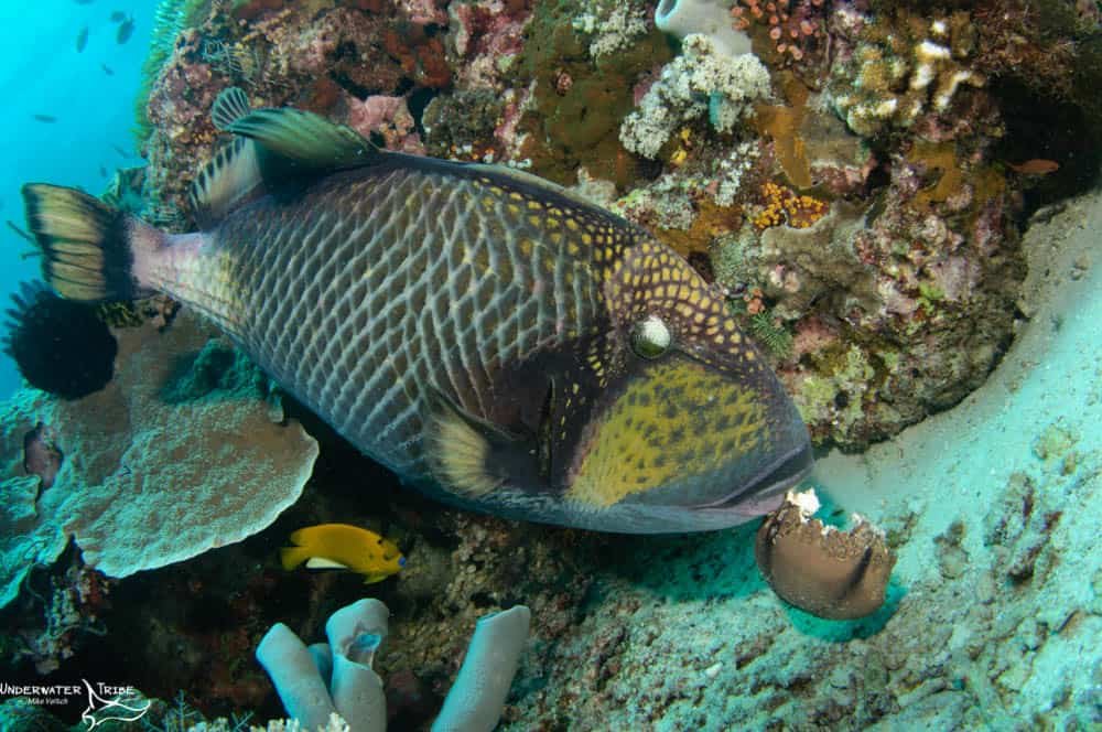 Titan Triggerfish Eats Starfish