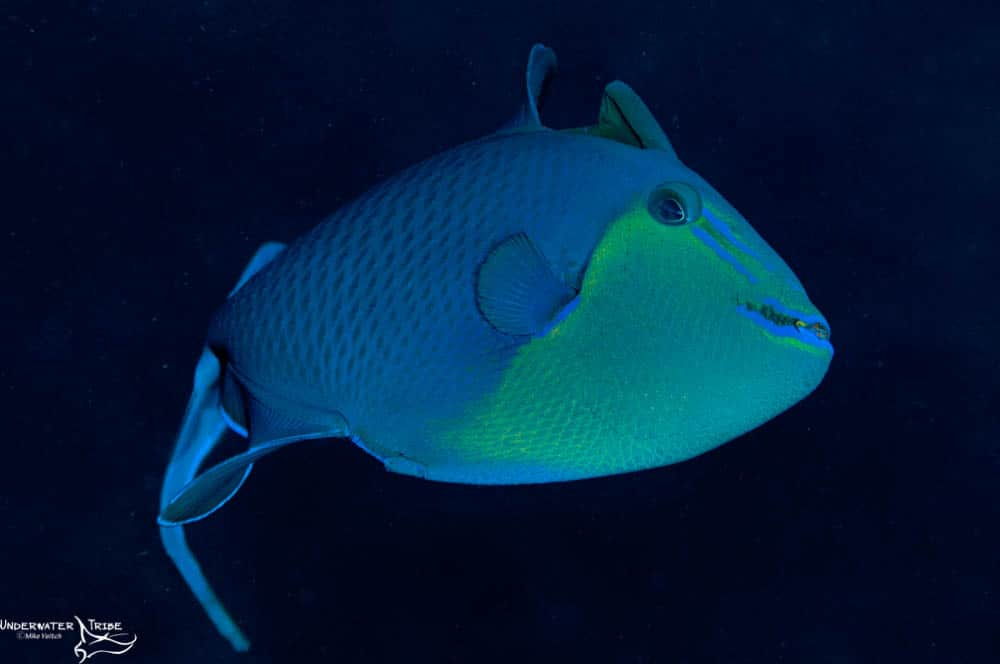 Red Tooth Triggerfish