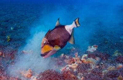Titan Triggerfish Eating