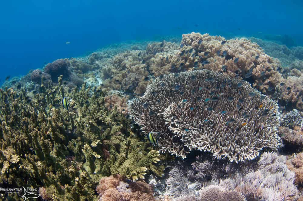 Hard Corals in Shallows