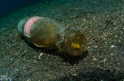Yellow Goby in Bottle